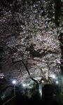 090402_2106~夜桜�A.jpg