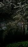 090402_2110~夜桜�C.jpg