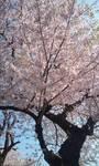 090406_0812~朝桜.jpg