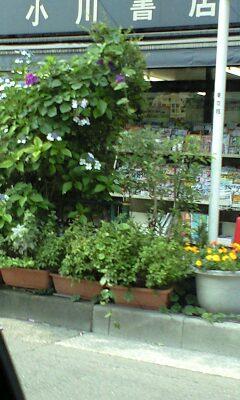 090619_1450~紫陽花の上に朝顔.jpg