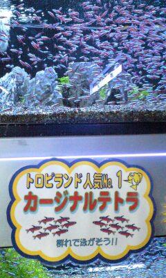 091231_1506~カージナルテトラ.jpg