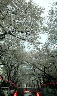 100403_1630~桜トンネル�@.jpg