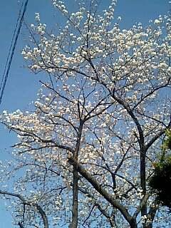 三田桜.jpg
