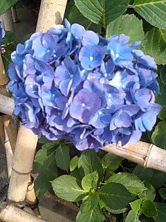 紫陽花�@.jpg
