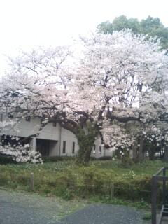 自然教育園桜�@.jpg
