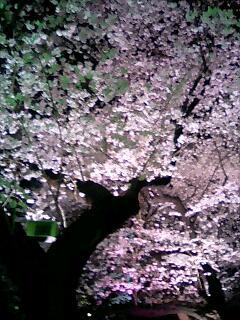 千鳥ヶ淵桜�A.jpg