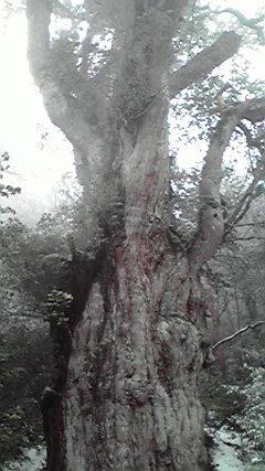 屋久島・縄文杉.jpg